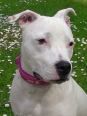 Staffordshire Bull Terrier, 7 months, white
